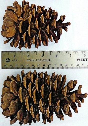 (Ponderosa Pine Cone Box)