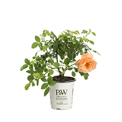 At Last Rose (Rosa) Live Shrub, Orange Flowers, 4.5 in. Quart by Proven Winners
