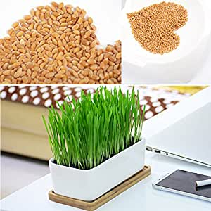 Follaje de la planta orgánica verde hierba de trigo de calidad alta 800 semillas de trigo Gran Brote gato hierba saludables Tratar libre de químicos: Amazon.es: Jardín