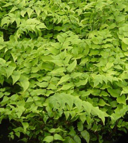 Cyrtomium fortunei fern, japanese holly fern, AGM