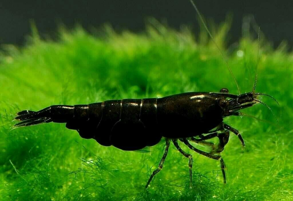 Live Shrimp- Black Diamond Shrimp - Gorgeous Dark Black .3''-3/4''. 10 Shrimp