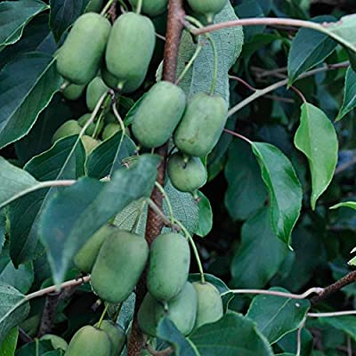 Hardy Kiwi (Actinidia arguta) 10 Rare Heirloom Cold-Tolerant Tropical Fruit Tree Seeds in a Glass Vial 'Seed Capsule' with Silica Beads & Organic Cotton for Moisture Control & Proper Long-Term Storage