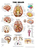 The Brain Anatomical Chart, Anatomical Chart Company Staff, 1587797038