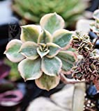 "6"" Variegated Aeonium Kiwi Sunburst Crest rare gift Live Plant Thanks Giving"