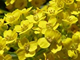 HOT - Basket of Gold - 600 Seeds - Alyssum saxatile Aurinia Saxatilis - Rockery Flower