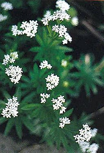 Galium Sweet Woodruff Odoratum Seed