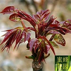 Toon Seeds cuatro estaciones Red mandarina Toon Aromatic Seedling seedling 100 semillas (xiang chun)