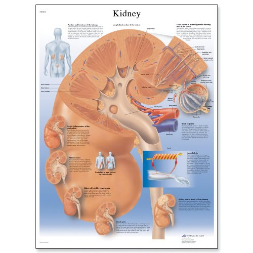 3B Scientific VR1515L Glossy Laminated Paper Kidney Anatomical Chart, Poster Size 20