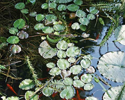 Live Aquatic Plant Nymphaea Mayla RED Color HARDY Water Lily TUBER for Aquarium Freshwater Fish Pond BUY 2 GET 1 FREE by JustNature by JustNature (Image #2)