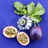 1 Starter Plant of Passionfruit Fredericks Purple Vine Passiflora Edulis