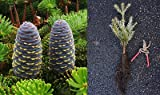 Korean Fir - Abies koreana, 12-16 Inch Live Tree Seedling. Purple cones! Zone 5