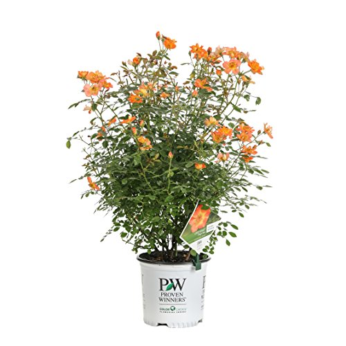 Shrub Rose - 1 Gal. Oso Easy Paprika Rose (Rosa) Live Shrub, Orange Flowers