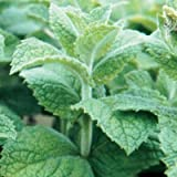 David's Garden Seeds Herb Mint Peppermint Mentha (Green) 200 Non-GMO, Open Pollinated Seeds