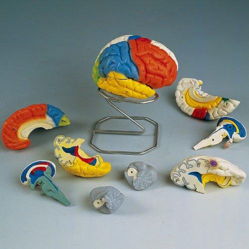 脳8分解神経学モデル C22 (14X14X17.5cm)   B010AOFQ72
