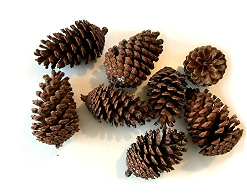 8 Pine cones UNSCENTED Natural Fall Winter Holiday Christmas Home Decor Craft Pine Pinecones Bag (Pinecone Christmas Crafts)