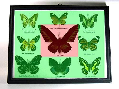 9 Real Butterfly Taxidermy Display in Frame for Collectible Gift #02 by Thai Productz