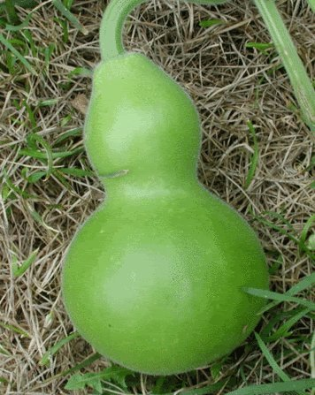 20 BIRDHOUSE GOURD (Hard Shelled Gourd / Calabash) Lagenaria Siceraria Vine Seeds