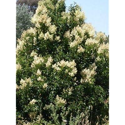 Details About Ligustrum lucidum Chinese Privet Gallon Plant : Garden & Outdoor