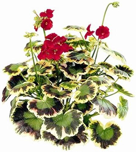 100pcs/bag Mix Geranium Bonsai Rare Variegated Geranium