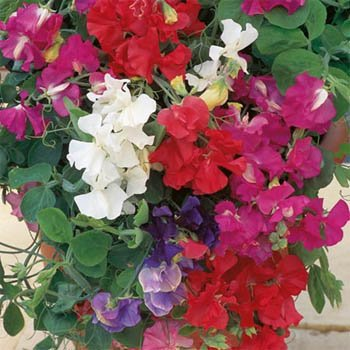 Outsidepride Annual Sweet Peas Mix - 250 Seeds