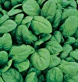David's Garden Seeds Spinach Space D644UPQ (Green) 500 Hybrid Seeds