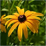 Package of 1,500 Seeds, Black-Eyed Susan (Rudbeckia hirta) Non-GMO Seeds by Seed Needs