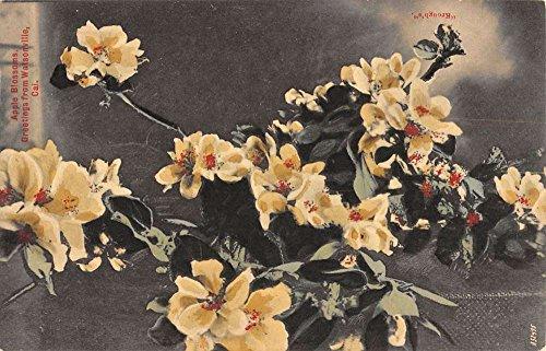 Watsonville California Apple Blossoms Flowers Greeting Antique Postcard K93460