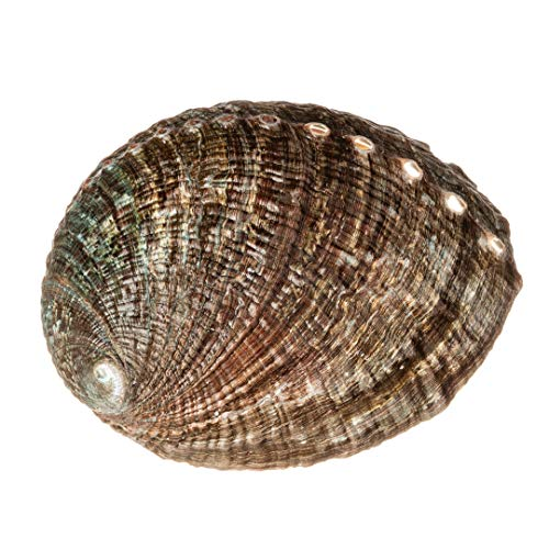Abalone Shell | 1 Large Buffed Green Abalone Sea Shell 5