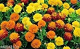 Dwarf French Marigold (Petite Seed Mix) Tagetes Patula Nana, Stay Small All Summe