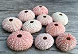 Sea Urchin |10 Pink Sea Urchin Shell |10 Pink Sea Urchin Shells for Craft and Decor | Nautical Crush Trading TM