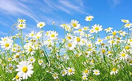 Image result for a field of daisies