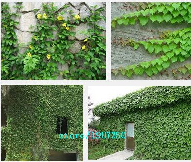 100pcs / lot, Parthenocissus quinquefolia, semillas enredadera Bonsai semillas de plantas en maceta en casa jardín SVI