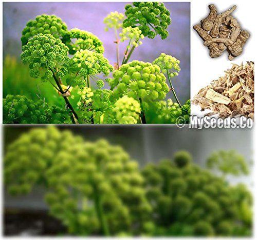 4 Packs x 15 Garden Angelica Seeds - Angelica archangelica Holy Ghost Norwegian angelica - Vegetable & Medicinal Plant - By MySeeds.Co