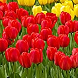 50 Red Oxford Tulip Bulbs - Tulipa Darwin Hybrid: Super-Sized X-tra Value Bag!!