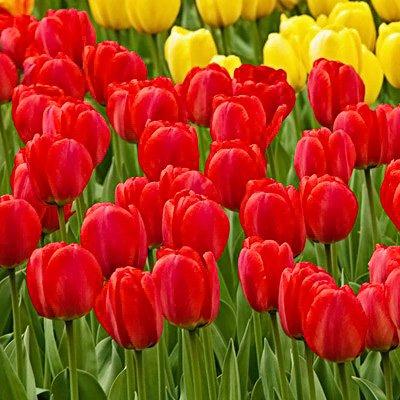 50 Red Oxford Tulip Bulbs - Tulipa Darwin Hybrid: Super-Sized X-tra Value Bag!! ()