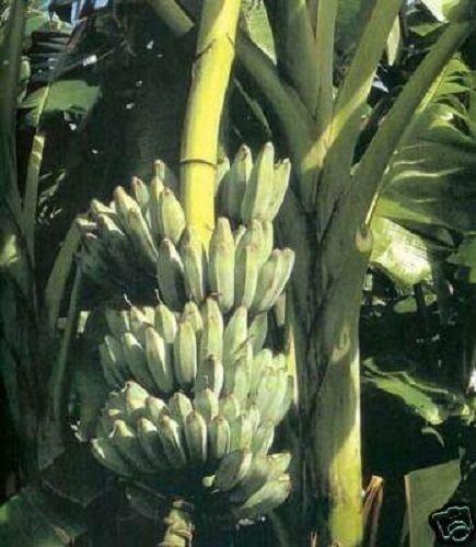 Musa - Blue Java 'Ice Cream' - Banana Tree
