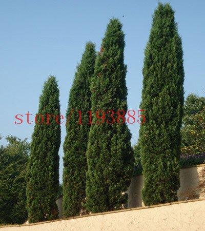 semillas del árbol 100 PC Ciprés italiano (Cupressus sempervirens stricta) cultivar un huerto casero: Amazon.es: Jardín