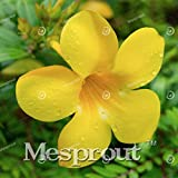 Allamanda violacea Seeds Seeds Petals flower Seeds Bonsai For Flower 100 Seeds 4 #32680021841ST