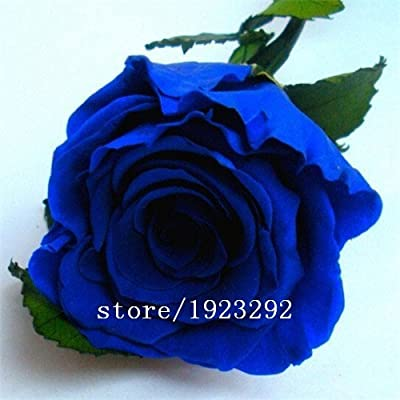 2015 Free shipping 100PCS Blue Rose Seeds Special Gift Easy to Plant Garden Planting Flower Seeds China Rare Semillas Rosa azul