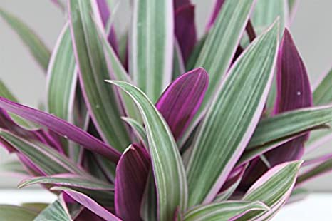 Striking Variegated Houseplant Indoor Purple Inch Plant