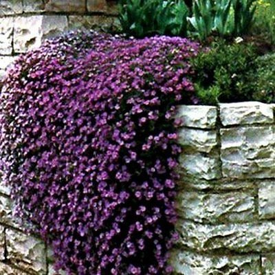 "50+ Perennial Flowering Groundcover Seeds - Rock Cress - ""Cascading Purple"""