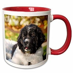 "3dRose 93609_5""Oregon, Portland, Landseer Newfoundland Dog Puppy-Us38 Bja0528-Jaynes Gallery Ceramic Mug, 11 oz, Red/White 38"