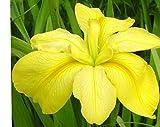 Spanish Ballet Louisiana Iris Bulb, Plant, Root start, Makes Beautiful Flowers