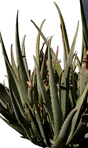 Organic Aloe Vera Leaves, Very Mature Mother Plants from Single Strain, over 40 Year Old Lineage
