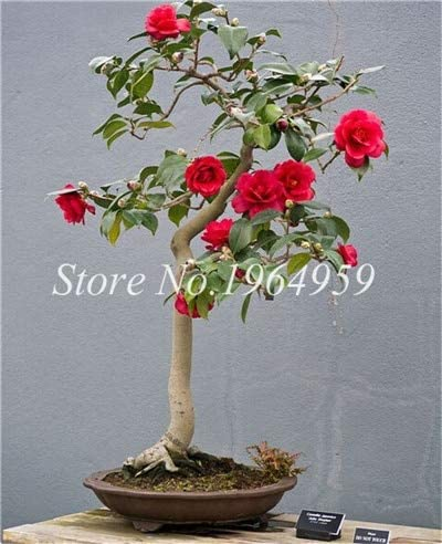 Amazon Com Rets Bonsai 3 Pieces Rainbow Camellia Flower Bonsai Light Fragrant Indoor Bonsai Flowers Germination 95 Soil Planted 4 Home Kitchen