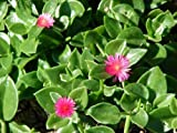 20 Nice cuttings Red Apple Ice Plant Aptenia cordifolia