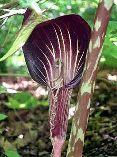 arisaema speciosum - Cobra Lily - 10 Seeds