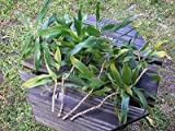 Dracaena Reflexa SONG OF JAMAICA Small-Leaved Dragon 3 FRESH Cuttings! SO EASY! Listed for charity
