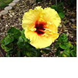SPRING SPECIAL - Hawaiian Yellow Hibiscus Cutting 4 Pack