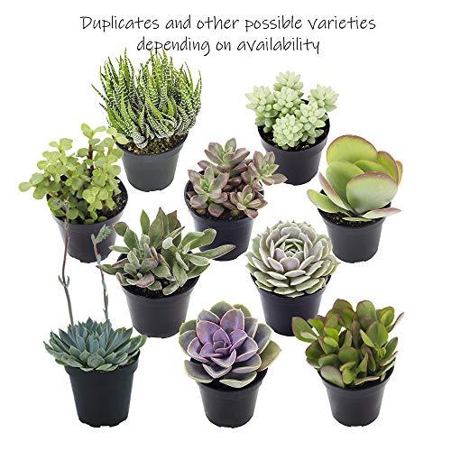 Altman Plants Assorted Live Tray mini succulents bulk for planters, 2.5'', 32 Pack by Altman Plants (Image #5)
